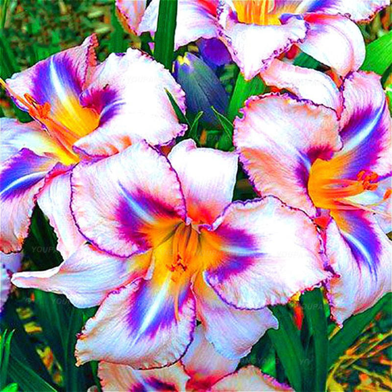 Egrow 100PCS/Pack Lily Seeds Rare Peruvian Lily Alstroemeria Bonsai Plants Mix-Color Beautiful Lilies Flower For Home &